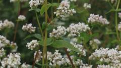 Fagopyrum esculentum, buckwheat field in wind - full screen Stock Footage