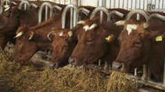 Dutch Deep Red cattle feeding on hay in deep litter stable Stock Footage