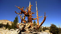 Bristlecone Pine 04 Dolly Up Ancient Forest White Mountain California Stock Footage
