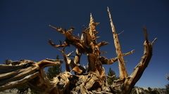 Bristlecone Pine 05 Dolly Right Ancient Forest White Mountain California - stock footage
