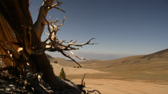 Bristlecone Pine 06 Dolly Up Ancient Forest White Mountain California - stock footage