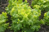 Mustard greens Stock Photos