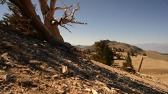 Bristlecone Pine 10 Dolly Left Up Ancient Forest White Mountain California Stock Footage