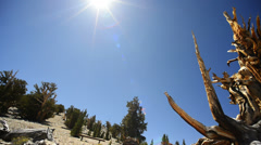 Bristlecone Pine Circular Dolly 01 Left & Right Ancient Forest White Mountain CA - stock footage