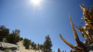 Bristlecone Pine Circular Dolly 01 Left & Right Ancient Forest White Mountain CA Stock Footage
