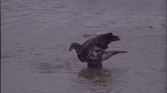 Eagles, Young with fish, Alaska, spawing salmon Stock Footage