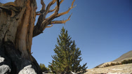 Bristlecone Pine Circular Dolly 03 Right Ancient Forest White Mountain CA Stock Footage