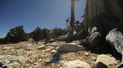 Bristlecone Pine Circular Dolly 04 Left & Right Ancient Forest White Mountains - stock footage
