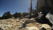 Bristlecone Pine Circular Dolly 04 Left & Right Ancient Forest White Mountains Stock Footage