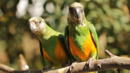 Stock Video Footage of Animal Bird Two green parrots playing on Perch