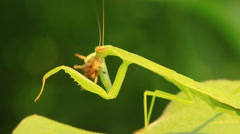 Mantis eat spider on the leaves in the wild Stock Footage