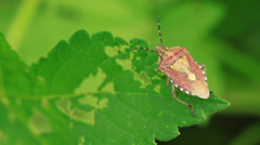 Stinkbug on green leaf in the wild natural state Stock Footage