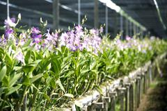 orchid flower farm - stock photo