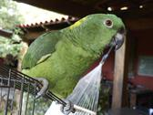 Stock Photo of Central America, Costa Rica, Yellow Naped Amazon at Rincon de La Vieja National