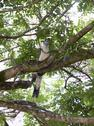 Stock Photo of Central America, Costa Rica, White Throated Magpie Jay perching on tree