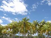 Stock Photo of Central America, Costa Rica, Palm grove under blue sky