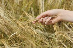 Germany, Hand of teenage girl touching barley in field - stock photo