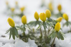 Germany, Bavaria, Winter aconite in snow - stock photo