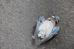 dead pigeon lying on the road - stock photo