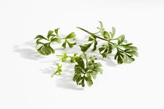 Stock Photo of Common Rue on white background, close up