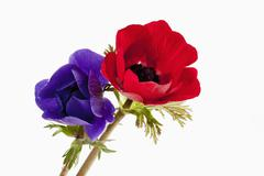 Stock Photo of Red and blue anemones flowers against white background, close up