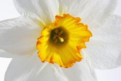 White and yellow daffodil flower, close up Stock Photos