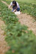 Germany, Bavaria, Young Japanese woman picking fresh strawberries in strawberry - stock photo