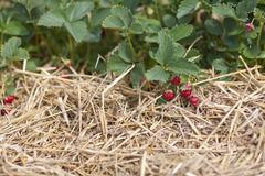 Stock Photo of Germany, Bavaria, Fresh strawberries in field