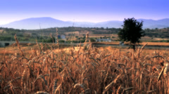 Grain field with the grain Stock Footage