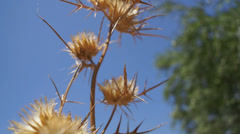Thistle - close up Stock Footage