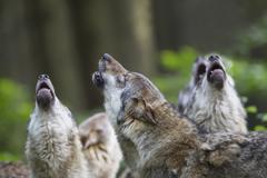 Saksassa, Baijerissa, Howling harmaa susia Kuvituskuvat