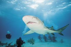 Bahamas, Divers discovering with atlantic lemon shark - stock photo