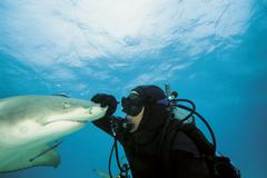 Bahamas, Diver playing with atlantic lemon shark - stock photo