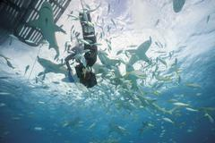 Bahamas, Diver in between Lemon sharks at Bahana bank - stock photo