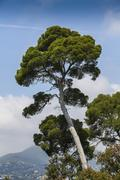France, Nice, View of Aleppo pine tree - stock photo
