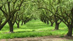Orchards and Orchards of Almonds - stock photo