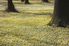 Germany, View of Winter Aconite and tree trunk - stock photo