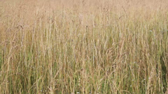 Yellow withered grass field closeup view Stock Footage