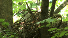 The nest of the goshawk 3 Stock Footage