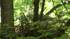 The nest of the goshawk 1 Stock Footage