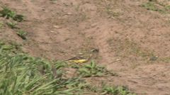 Yellow wagtail 3 Stock Footage