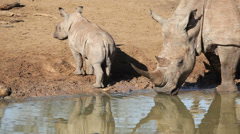 White rhinoceros and calf Stock Footage