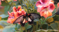 Tropical butterfly on the flowers  Footage