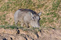 Warthog feeding on its knees Stock Photos