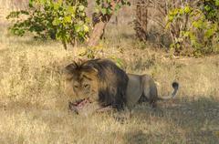Lion iso harja syöminen Kuvituskuvat