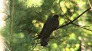 Stock Video Footage of European cuckoo