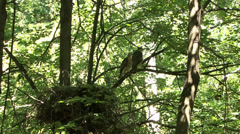 Goshawk Stock Footage