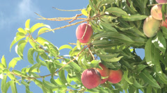 Ripe Haden Mangos Hanging in Tree.m2ts Stock Footage
