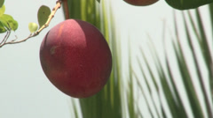 Haden Mango bobbing in breeze with coconut frond in background.m2ts Stock Footage