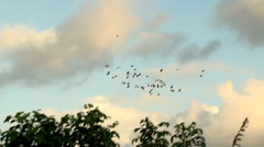 Tracking shot of flock of Pigeons in Flight amidst foliage.m2ts - stock footage